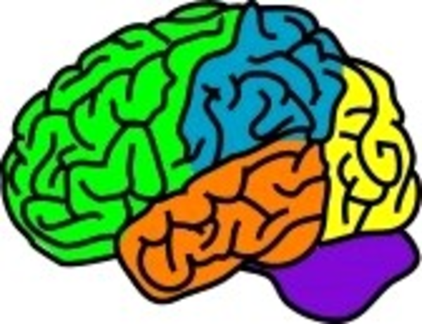 600x461 Vector Illustration For A Anatomy Brain In Separate Color Free