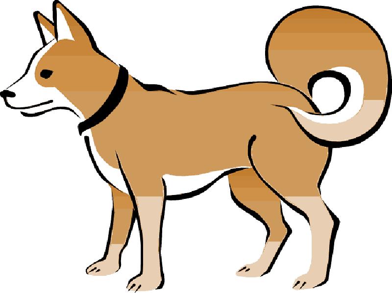 800x598 Brown, Dog, Pet, Animal, Tail, Eskimo, Collar, Curly