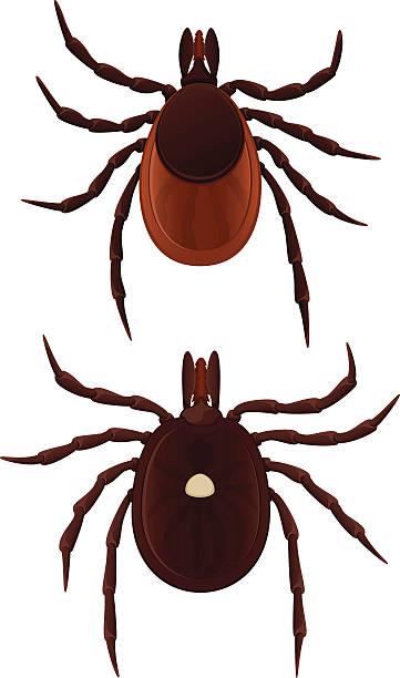 361x612 Tick Bug Clipart Amp Tick Bug Clip Art Images