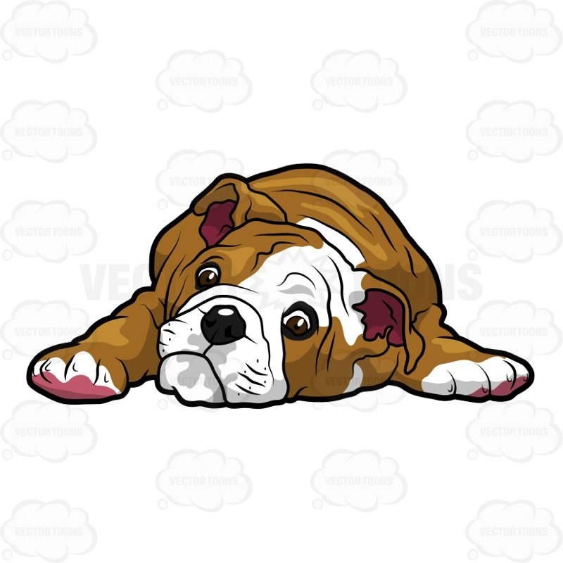 800x800 English Bulldog Puppy Lying Down With Its Head On The Floor