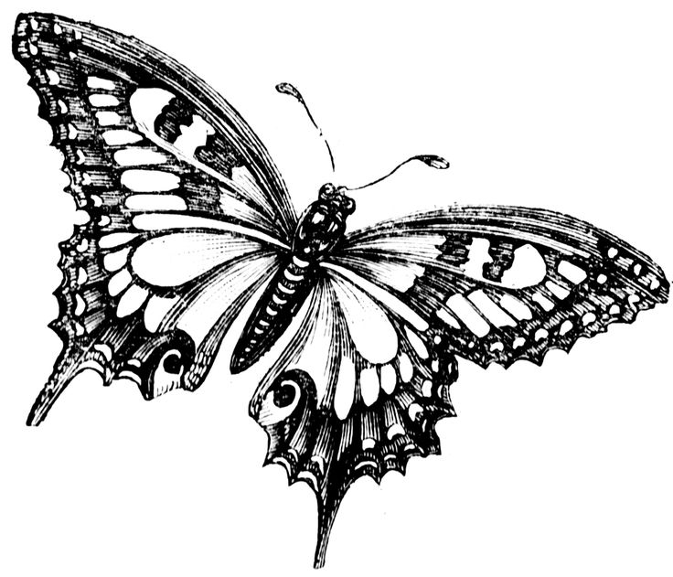 736x631 And White Vintage Butterfly Clipart