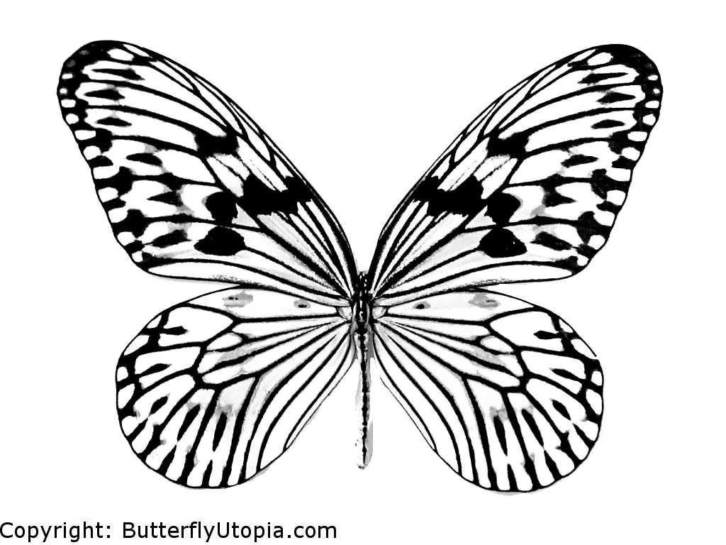 1024x768 Animal Butterflies To Colour And Print Butterfly Outline