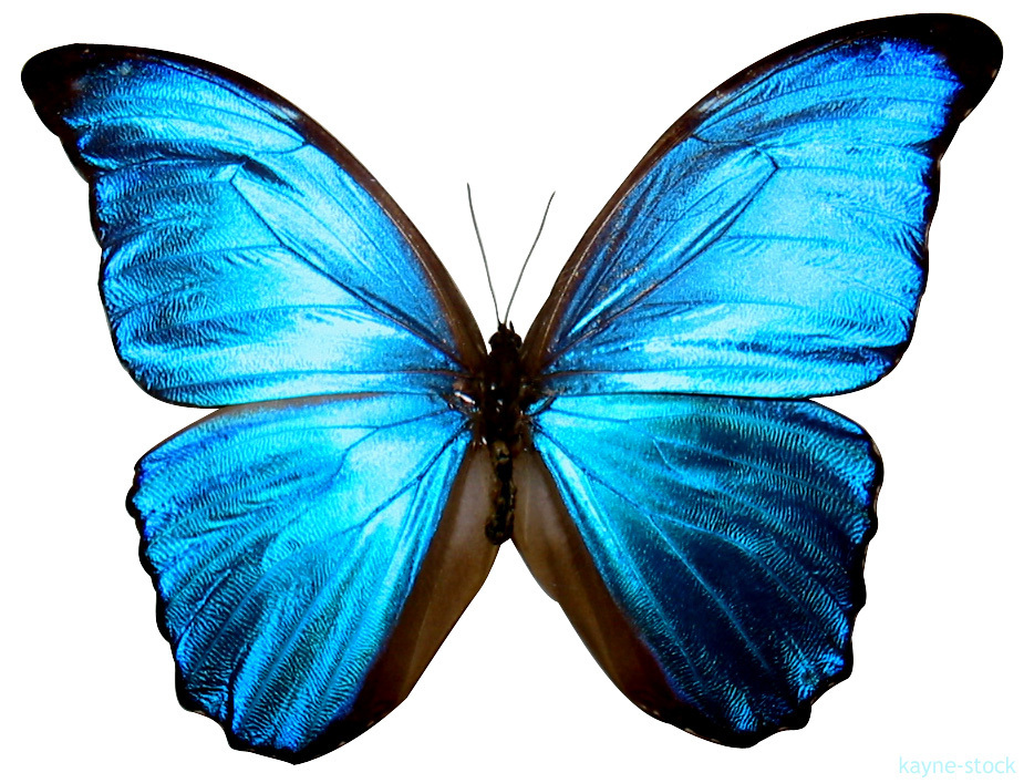 925x707 Art Pictures! Images Blue Butterfly Hd Wallpaper