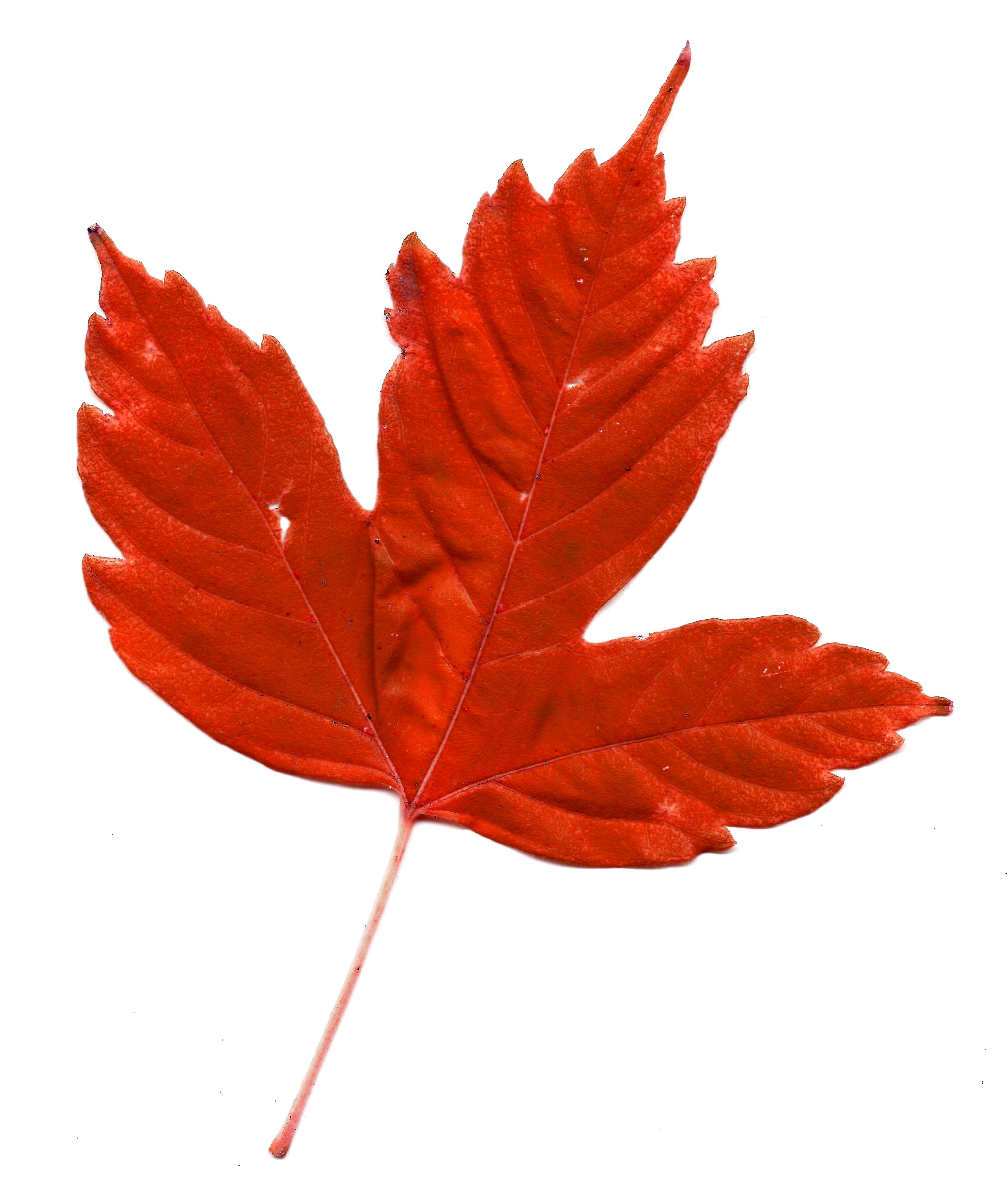 2959x3531 Maple Leaf Clipart Colorful Leave