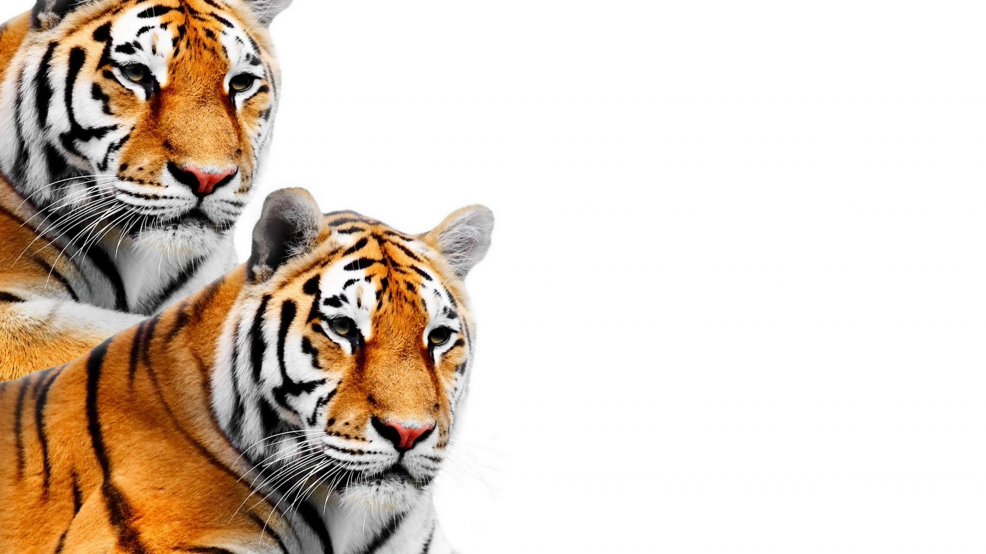 1920x1080 Cats Wallpapers Page 4 Two Tigers Big Cats Tiger Animals Cat