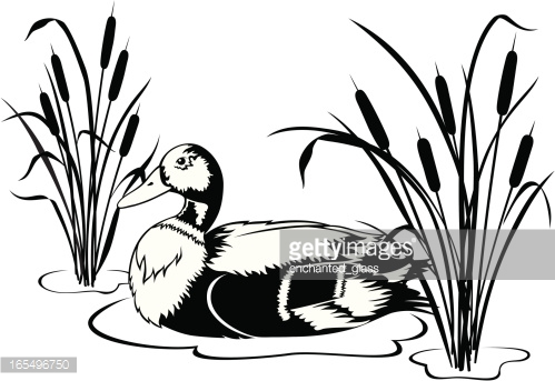 499x343 Wood Duck Clipart Cattails