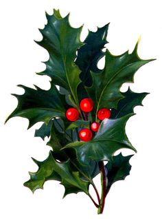 236x318 Vintage Christmas Flower, Holly And Berries Image, Vintage Floral
