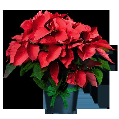 400x400 Poinsettia In Pot Grafic Christmas Poinsettia