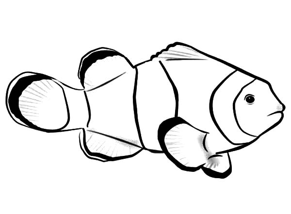 600x442 Clownfish Clipart Realistic Fish