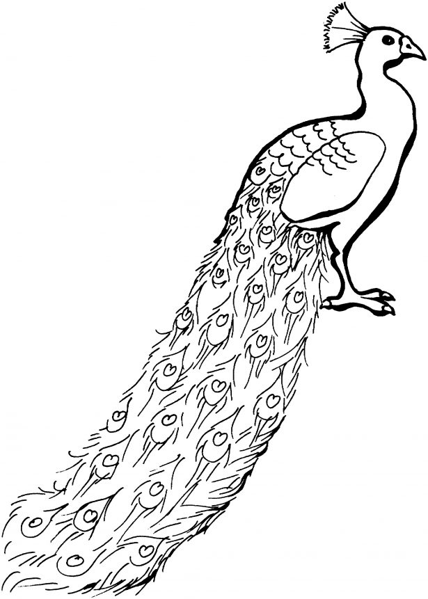 615x861 Coloring Pages Animals Coloring Page Adults Peacock Zentangle
