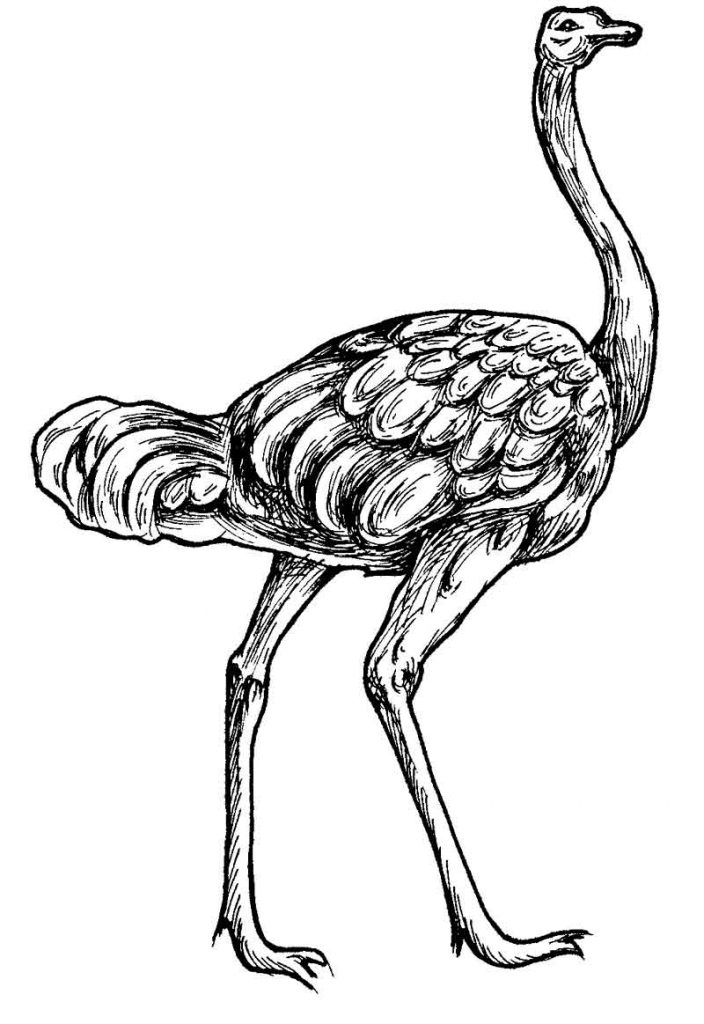704x1024 Ostrich Coloring Pages For Kids