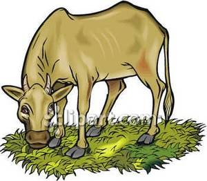 300x262 Brown Cow Eating Grass