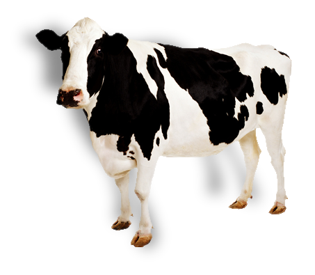 453x395 Cows Gallery Isolated Stock Photos By Nobacks