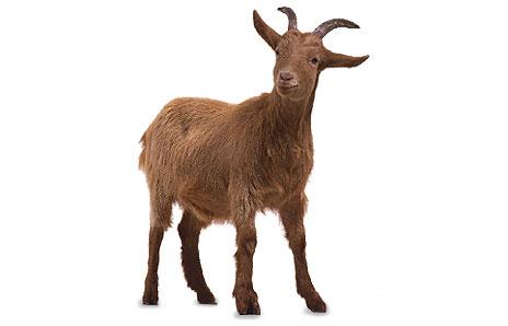 464x298 Goat Clipart Transparent Background