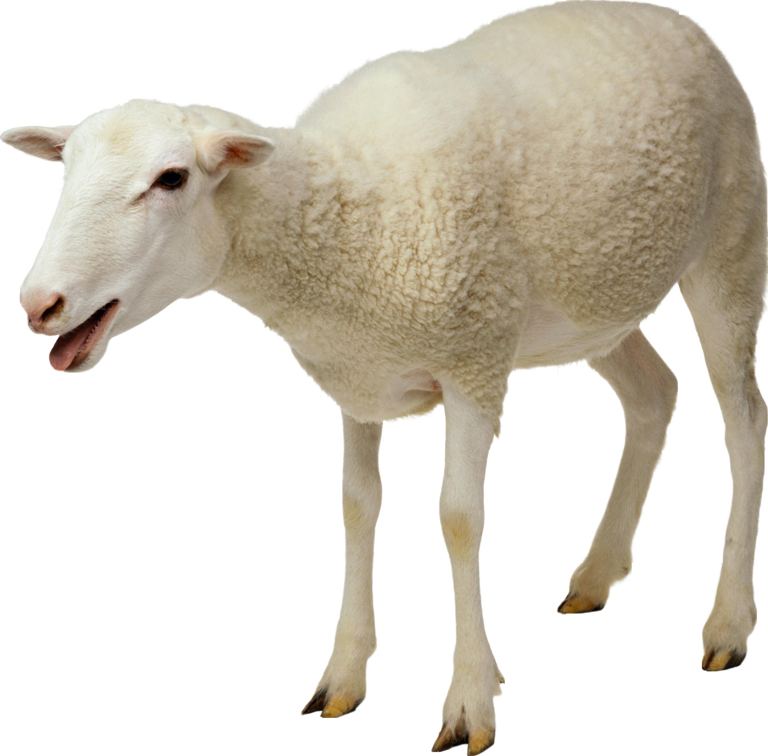 2497x2458 Sheep Png Animal Png Animal