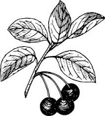 150x166 Free Cranberry Clipart