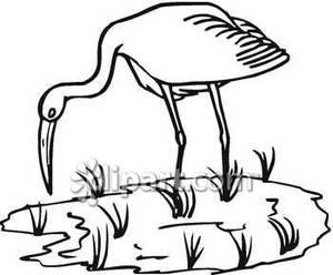 300x248 And White Crane Feeding In Marsh