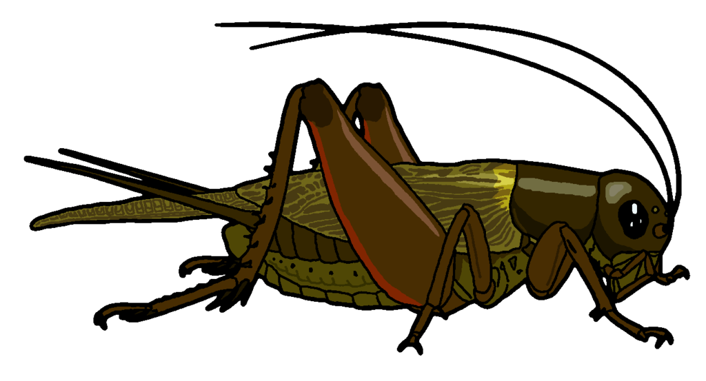 1024x553 Field Cricket Clipart By Misterbug