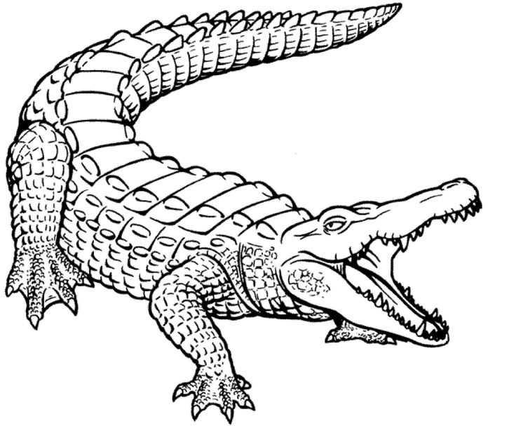 736x607 Download Caiman Animal Coloring Pages