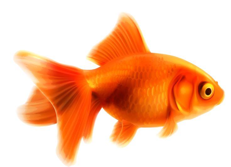 736x532 321 Best Fish Images Art Lessons, Comet Goldfish
