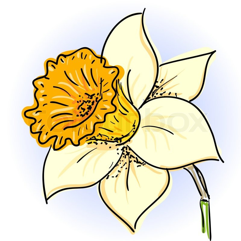 800x800 Hand Drawn Illusthration Of Daffodil Narcissus Stock Vector