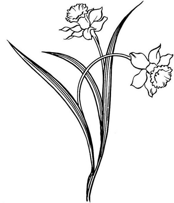 564x661 Daffodil, Pretty Daffodil Flower Coloring Page For Use
