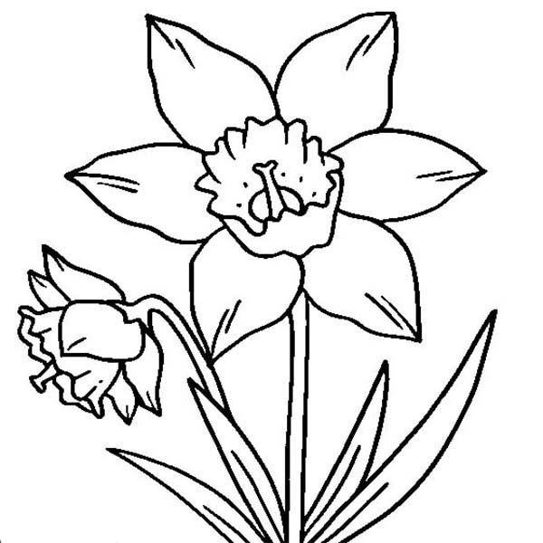 600x600 Daffodil Coloring Page
