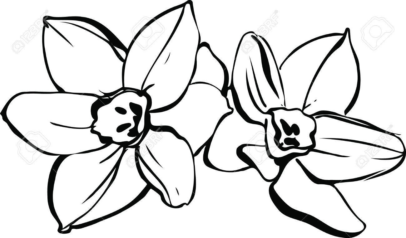 1300x763 Daffodil Vector Graphic – Fiori Idea Immagine
