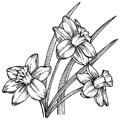 400x397 How To Draw A Daffodil Howstuffworks