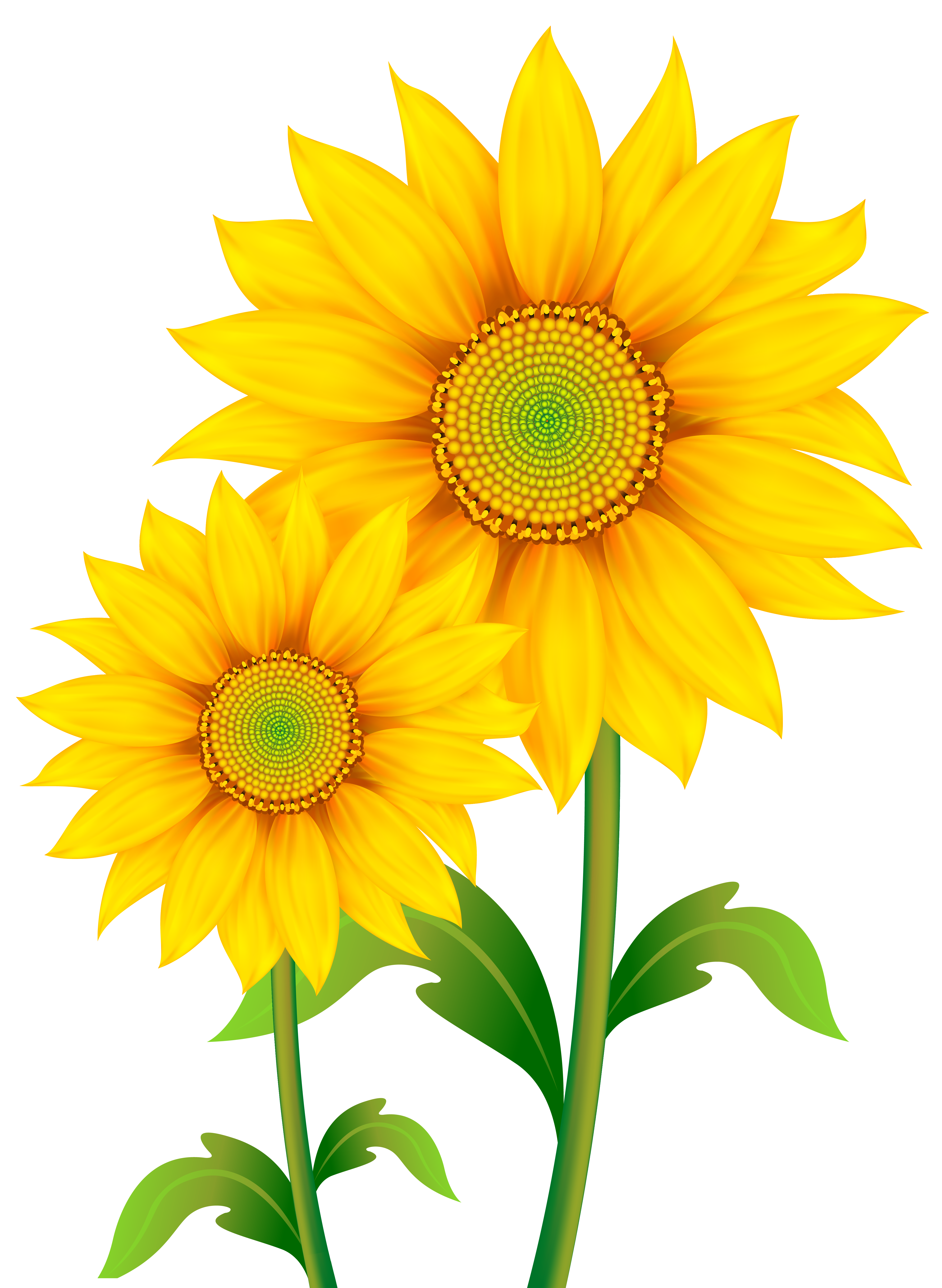 4504x6158 Daisy clipart sunflower flower