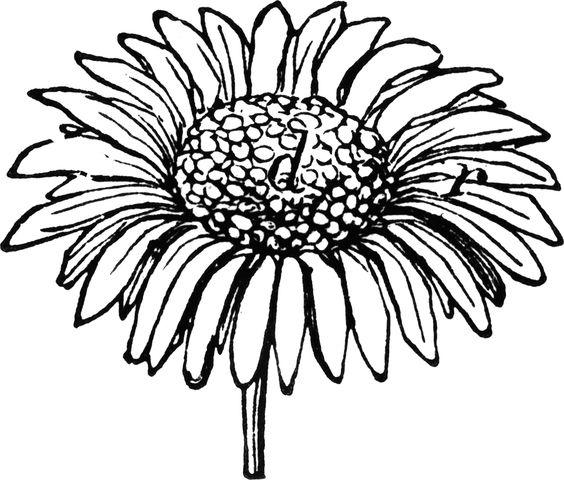 564x480 Daisy Lines Cliparts
