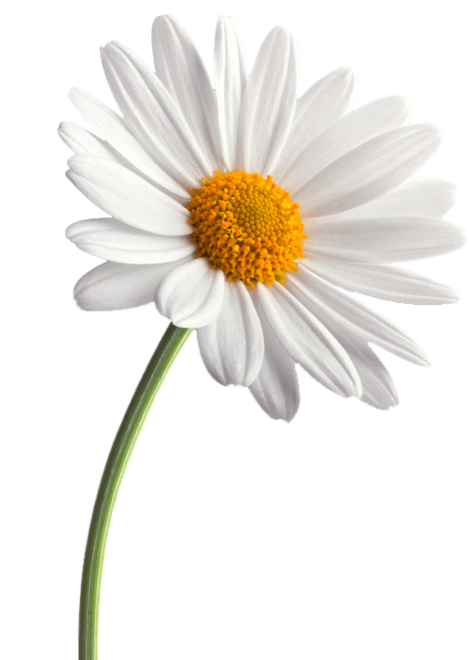 474x660 Daisy White Background Images All White Background