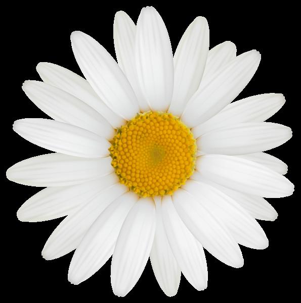 595x600 Daisy Clipart Flower Head