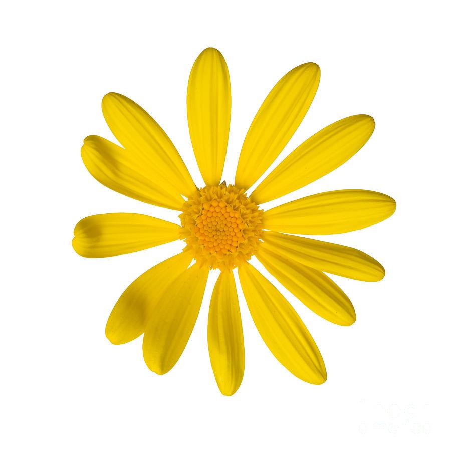 900x900 Daisy Clipart Yellow Daisy