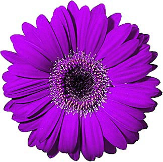 324x321 Purple Gerber Daisy Clipart