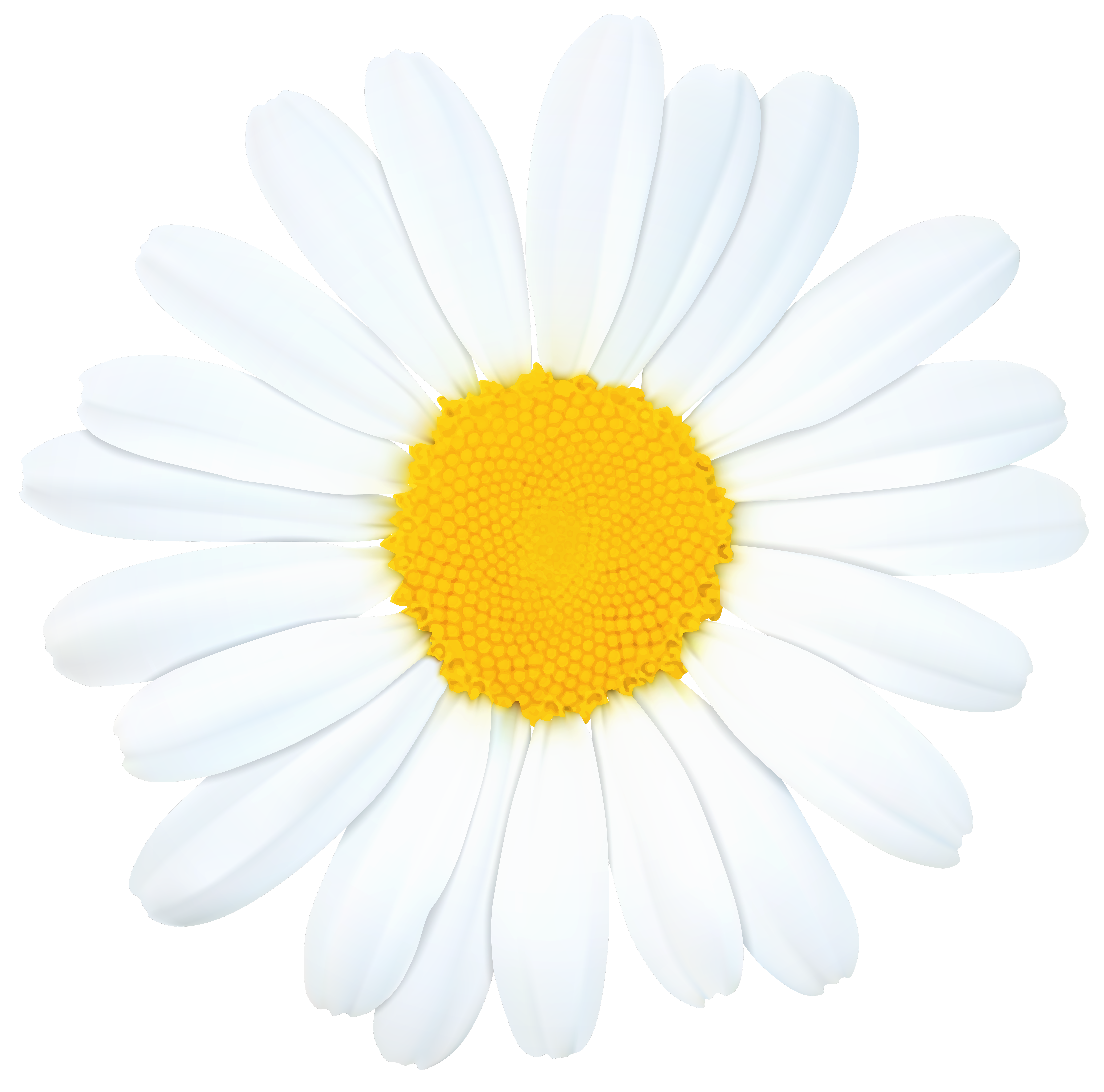 8000x7910 Realistic Clipart Daisy