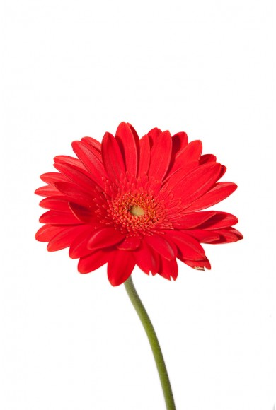 390x580 Red Daisy Clipart