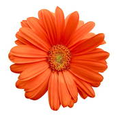 170x170 Stock Photo Of Orange Gerbera Daisy K0911464