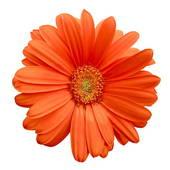 170x170 Stock Photo Of Orange Gerbera Daisy K0911464