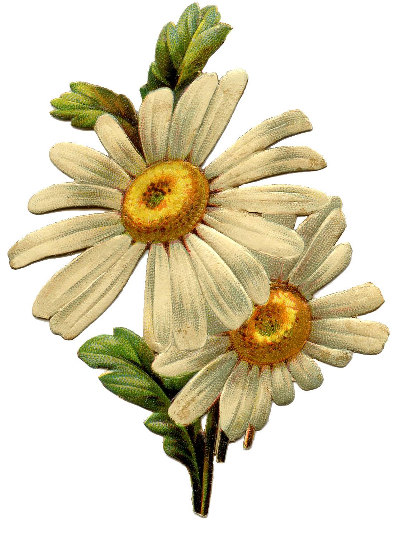 1113x1500 Vintage Daisy Image
