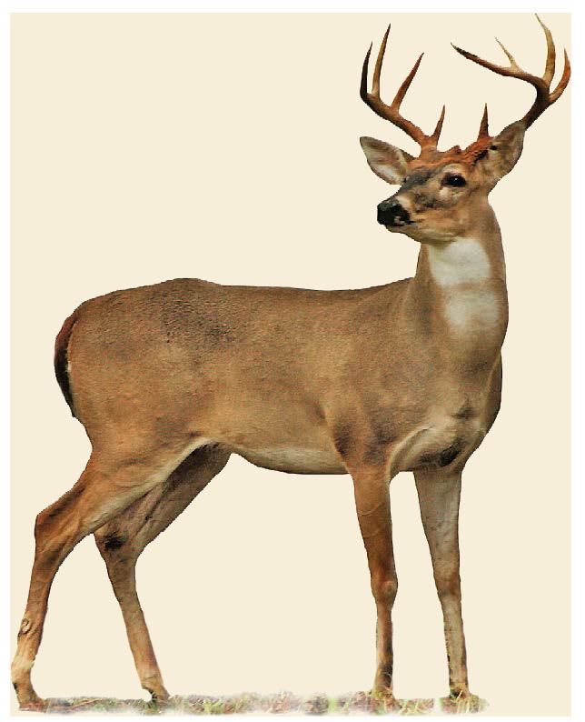 644x794 Deer Transparent Png Image Web Icons Png