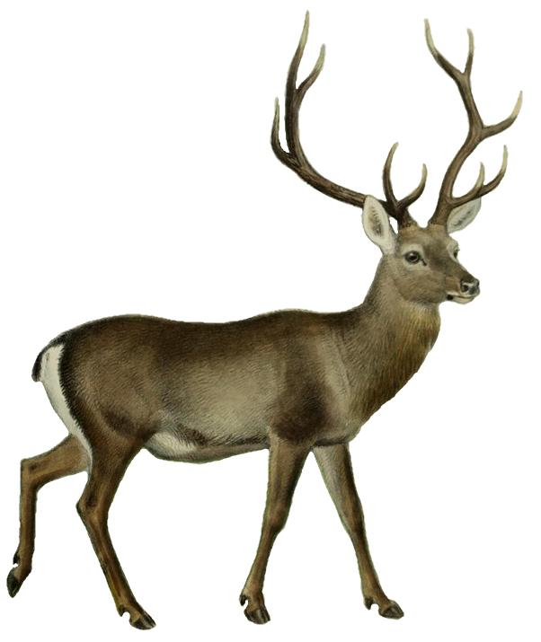 602x715 Filethe Deer Of All Lands (1898) Hangul White Background.png