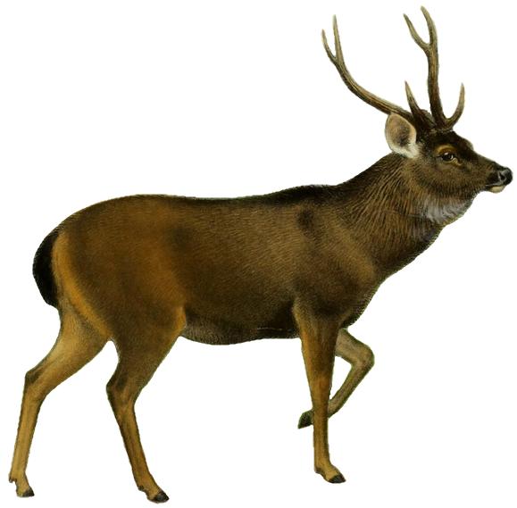 579x569 Filethe Deer Of All Lands (1898) Indian Sambar White Background