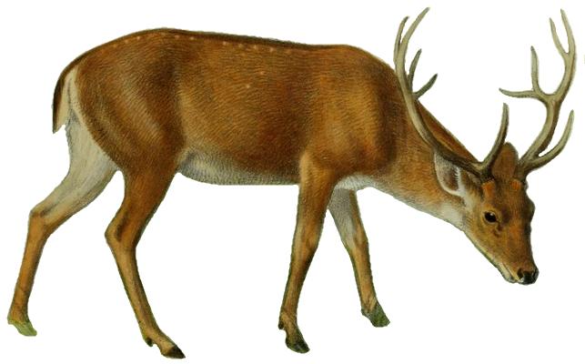 643x400 Filethe Deer Of All Lands (1898) Swamp Deer White Background.png