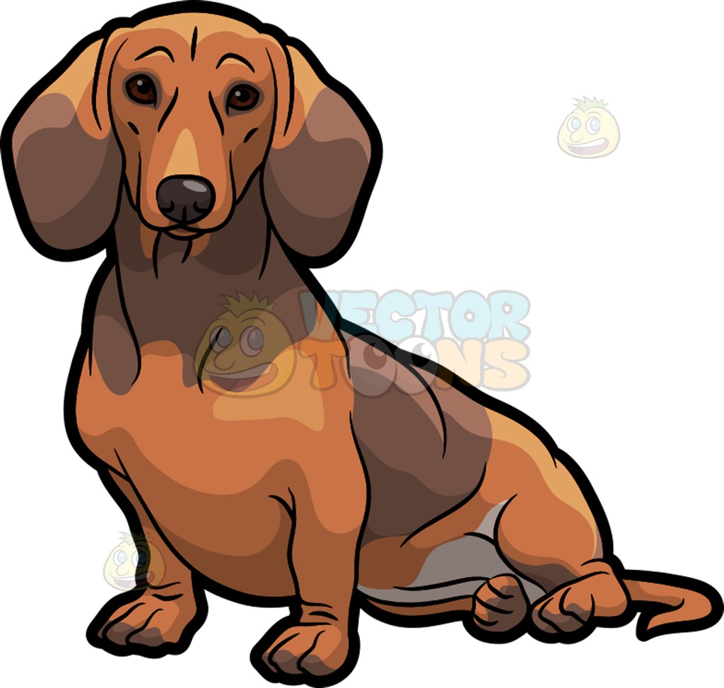 1024x973 An Adorable Dachshund Dog Sitting Down Dachshund Dog, Dachshunds
