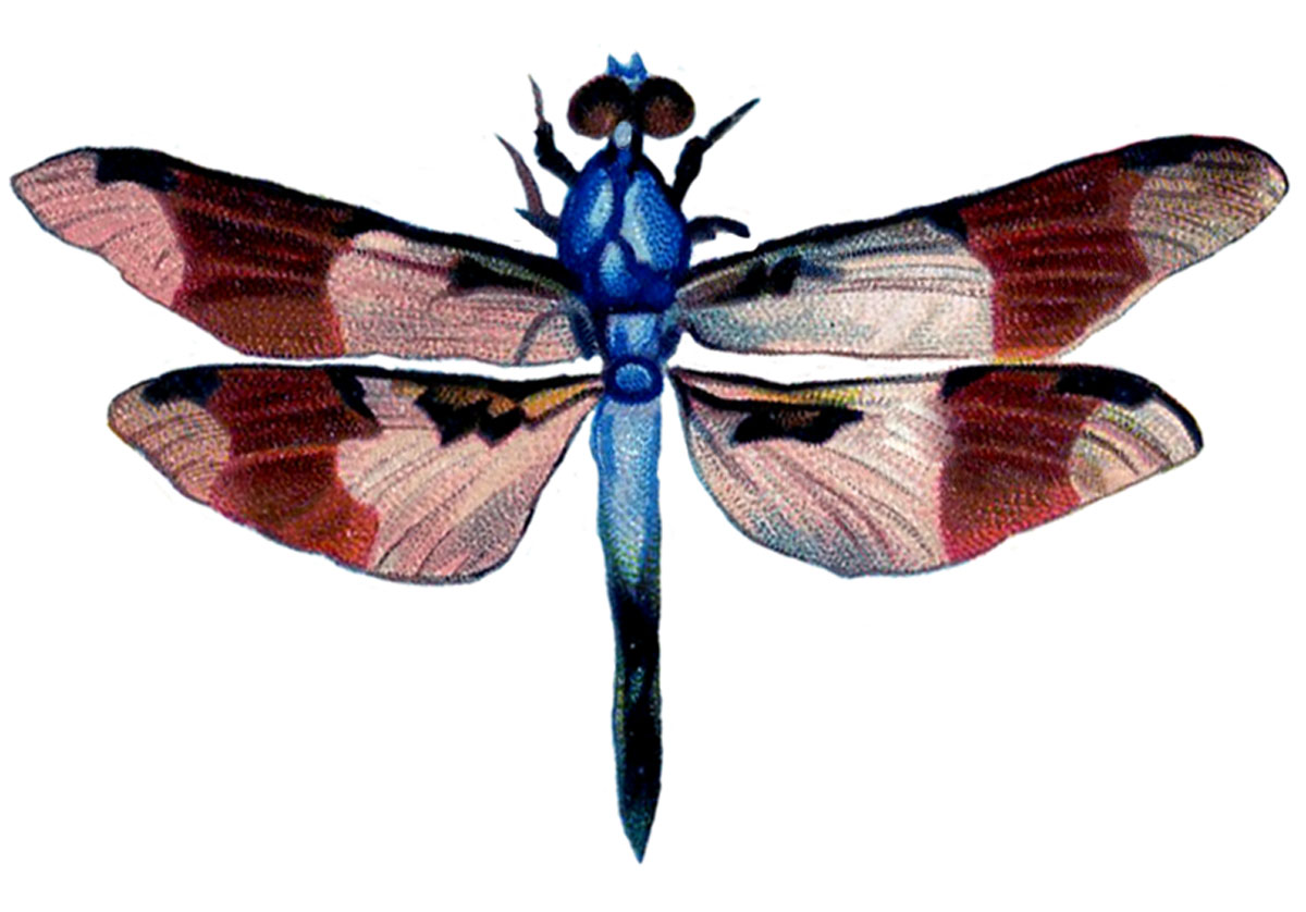 Dragonfly Images Free | Free download best Dragonfly Images Free on ...