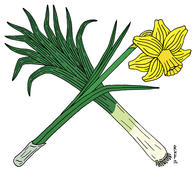 800x710 Drawn Daffodil Cartoon