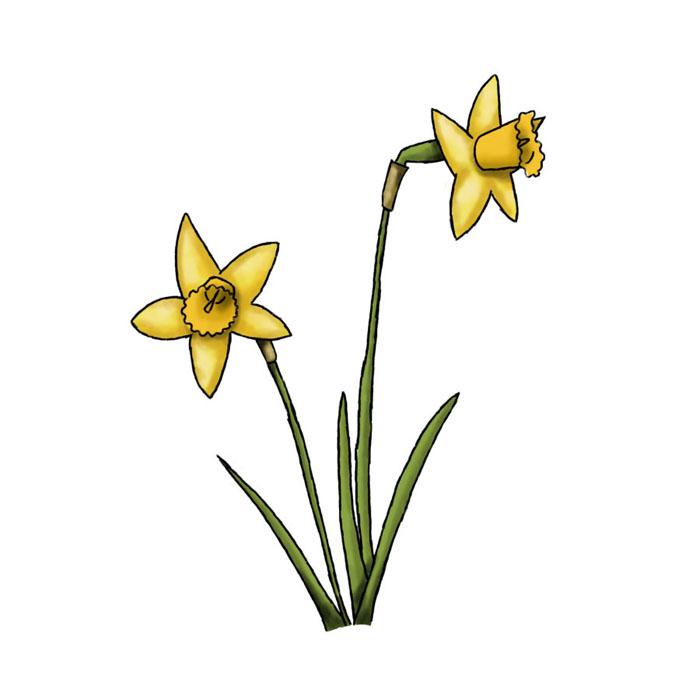 700x700 Drawn Daffodil Clip Art