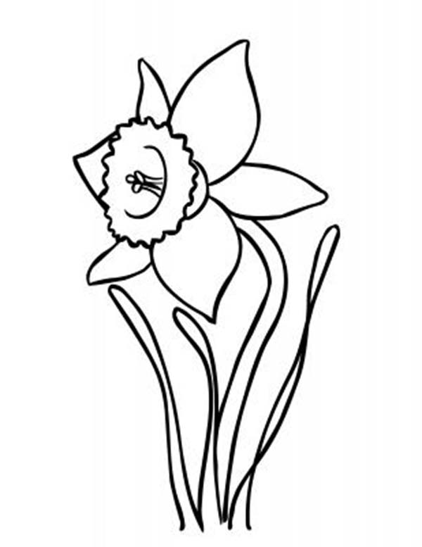 600x777 Drawn Daffodil Outline