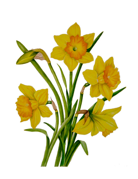 570x737 A Welcome Sign Of Spring A Bunch Of Daffodils By Sunshowerstudio